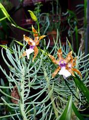 Miltonia clowesii 'Diego' species orchid 11-20