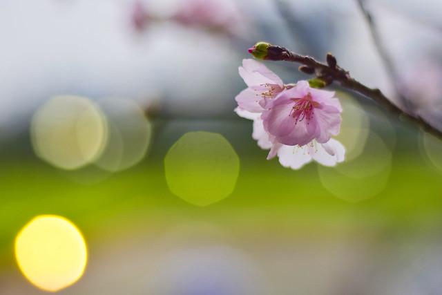中正紀念堂櫻花