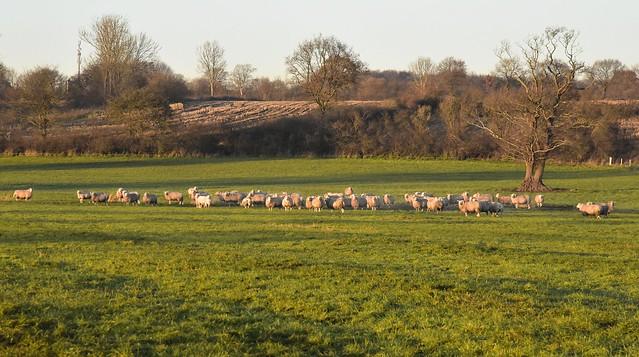 Novembernachmittag - Schafe auf einer Weide am Südermoor; Bergenhusen, Stapelholm (82)
