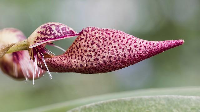 Bulbophyllum mirum 5321-1; Orchidaceae (2)