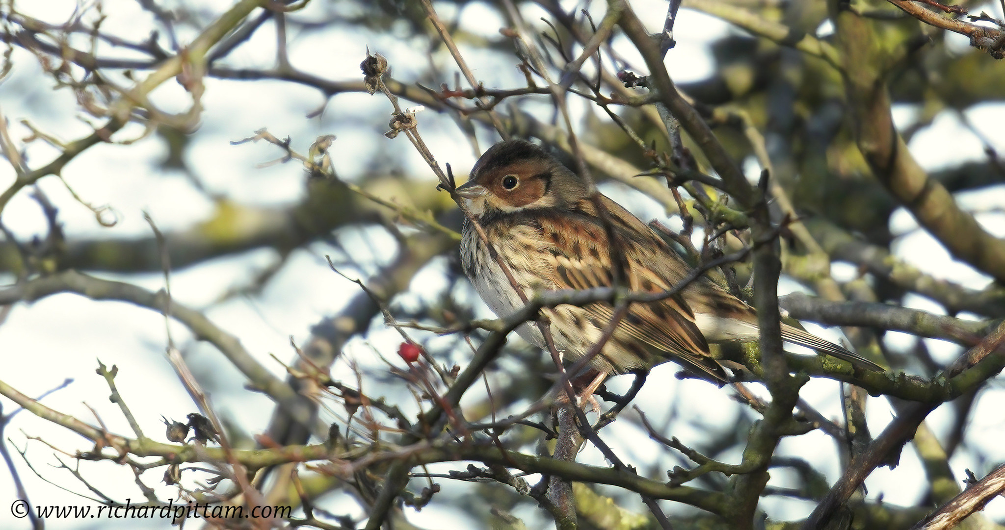 Little Bunting - this bird is a right pain in the **** to get a decent image of.