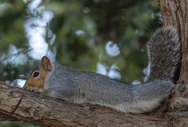 Gray Squirrel Attempting to Hide