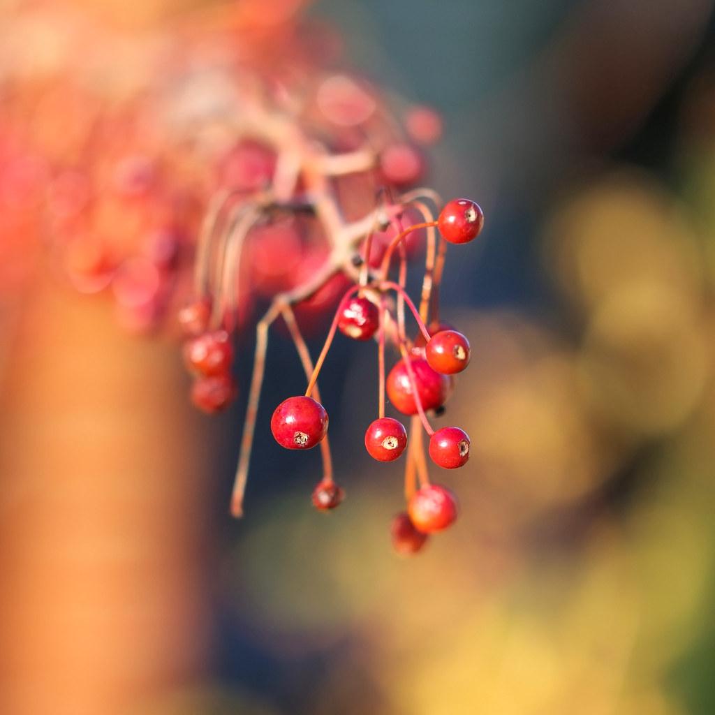 Berries & Bokeh II