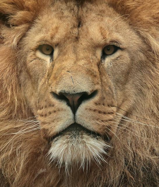 african lion Dembe artis 9K2A5418