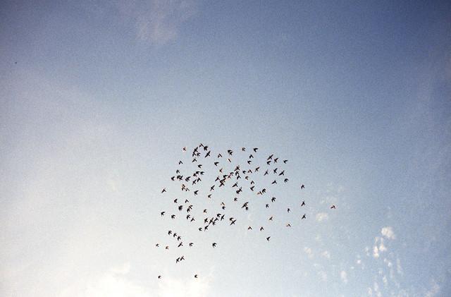 Maltese Pigeons  (Bessa R2A  /  Fujicolor 200)