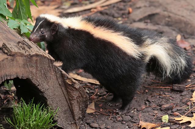 skunk artis 9K2A5226
