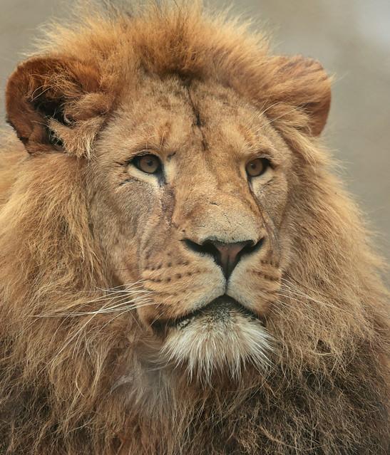 african lion Dembe artis 9K2A5404