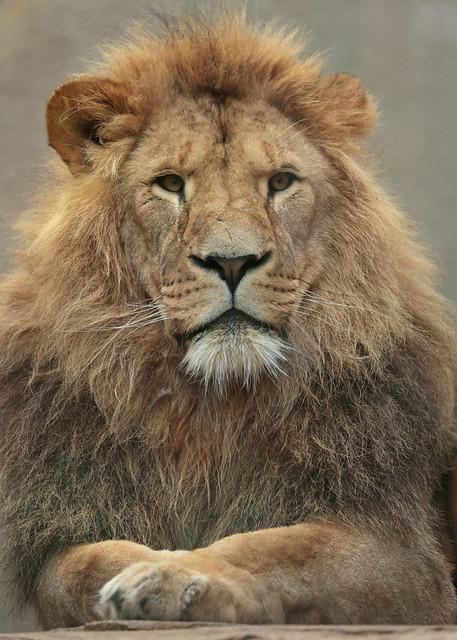african lion Dembe artis 9K2A5386