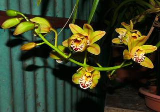 Cymbidium Unknown [FM #8] hybrid orchid 11-20