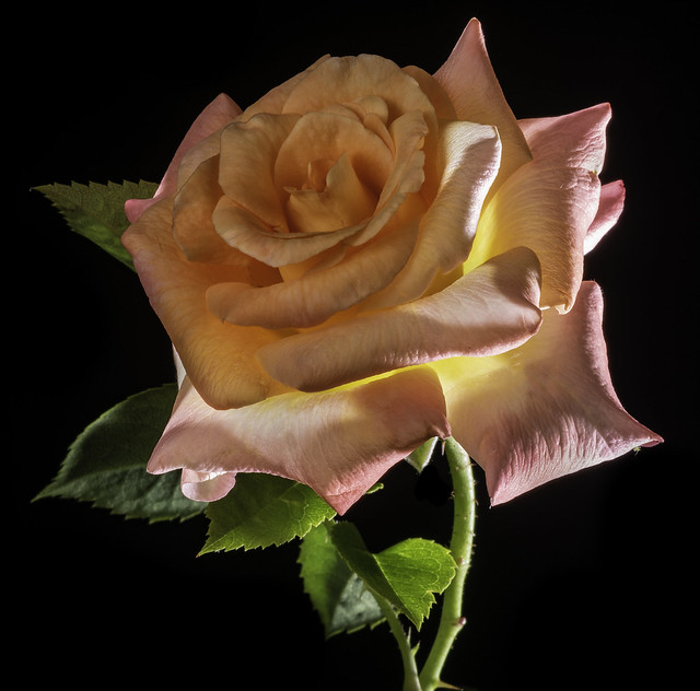 Yellow And Pink Rose In The Light
