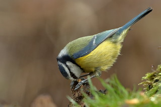 Blue tit with meal-worm