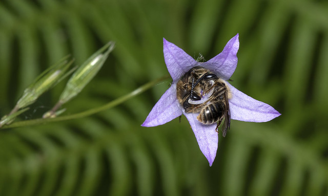 Andrena pandellei sleeping in a bellflower