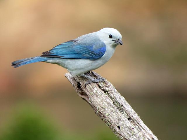 Tal vez por considerarla un ave común no suelo dar a este fiel Azulejo el sitial que merece razón por la que hoy le honro con esta corta nota.