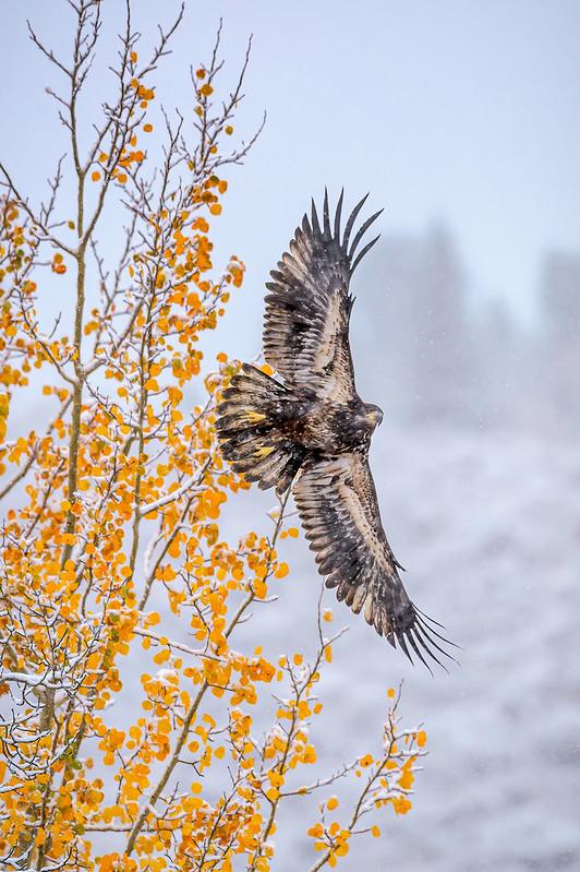Juvenile bald eagle taking flight in a blizzard, Grand Teton National Park, Wyoming
