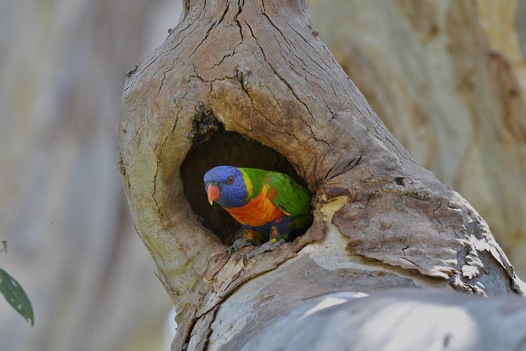 Rainbow Lorikeet ( right to go )