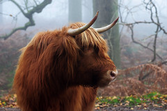 Highland Cow1