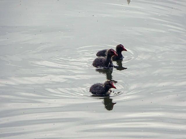 20190710Bird < Bird < _Animal, Fleet Pond < Hampshire < England, Moorhen, Moorhen Chick-2