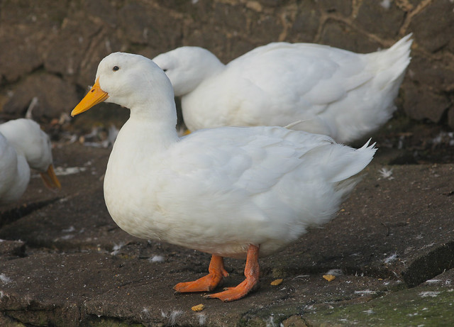 Ducks at Shere Village..White Campbell Ducks