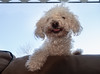 Holly the three legged toy poodle.