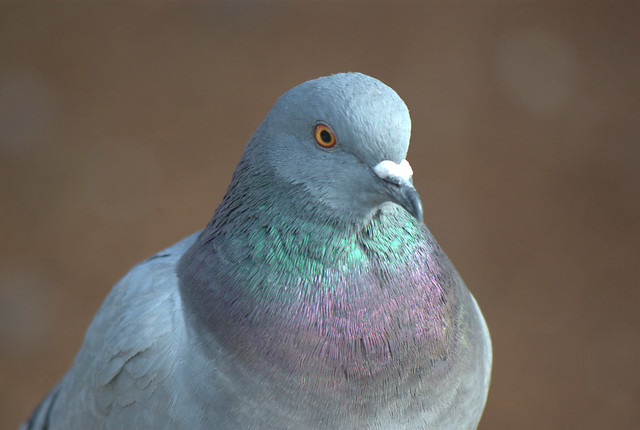 Portrait of a Young Pigeon
