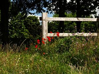 Poppies framed