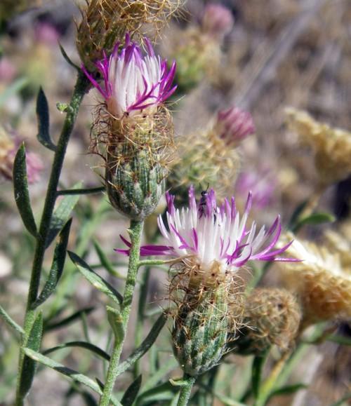 Centaurea hyssopifolia 50670325353_3872221829_o