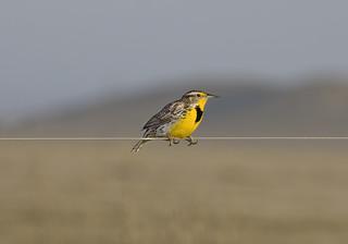 Western Meadowlark, Sturnella neglects