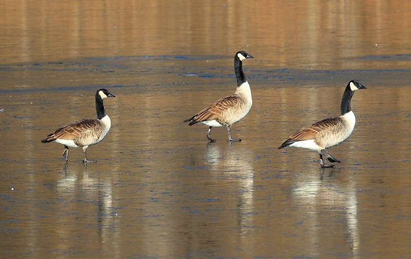 Canada geese at Lake Meyer Park IA 653A7771