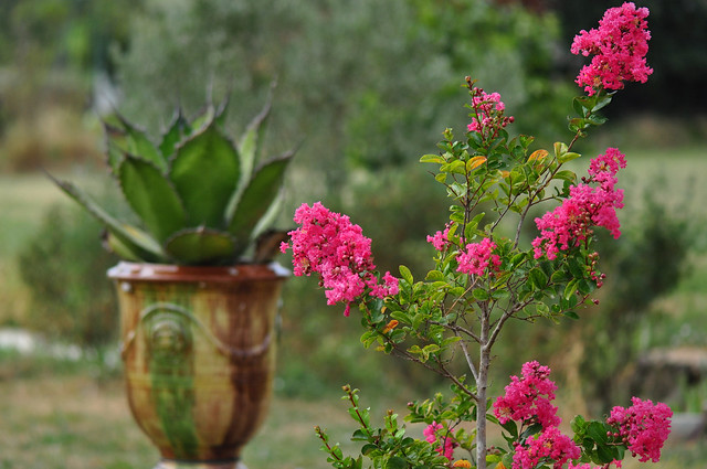 Pink Crepe Myrtle (Lagerstroemia) and Agave Cerulata in the background