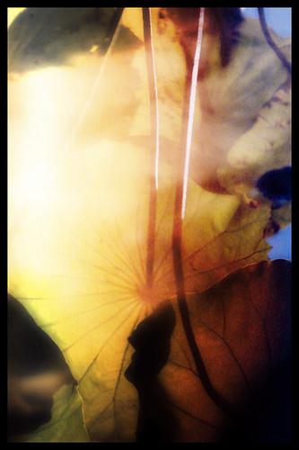Lotus reflection in a pond in the Kyoto Botanical Garden run through the photo app Pixlromatic