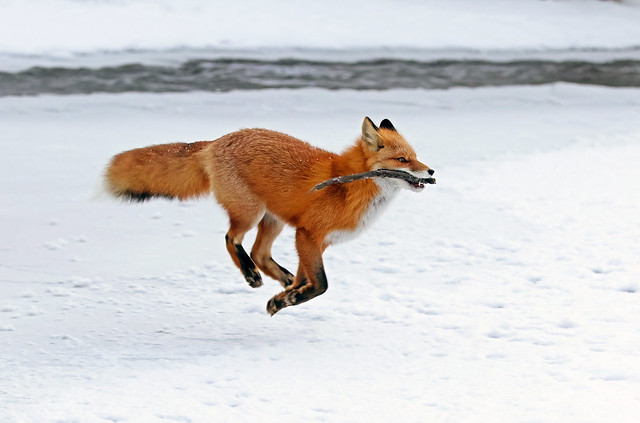 Red Fox Playing Fetch With A Stick