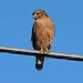 248A8377 red shouldered hawk