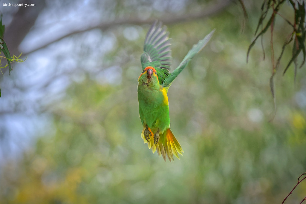 Musk Lorikeet: Upwards