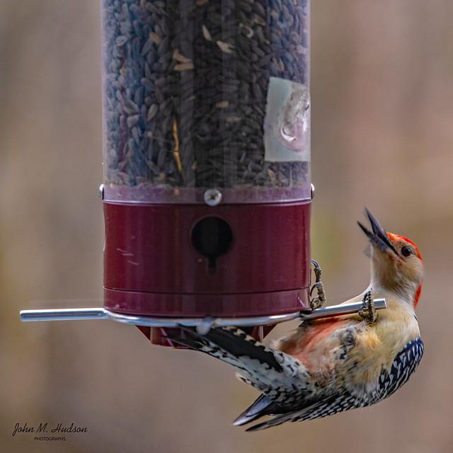 2020.12.01.5413.D850 Red-Bellied Woodpecker