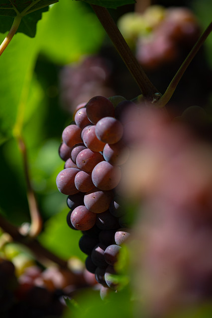 Colorful grapes in the wineyaed