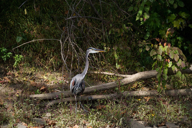 Blue heron...CCPark-birds_0191