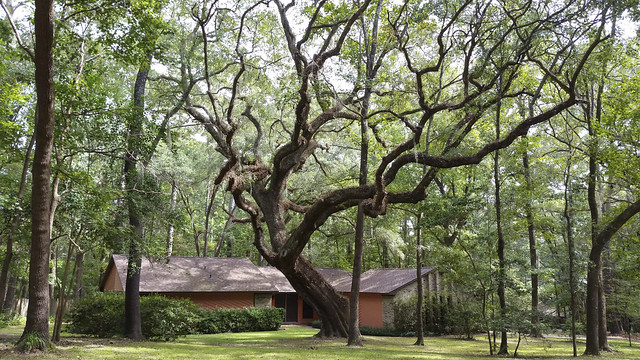 50671015112 272ff38c9c z Tallahassee, Florida   a big oak tree among other trees.  A neighborhood created within a forest.