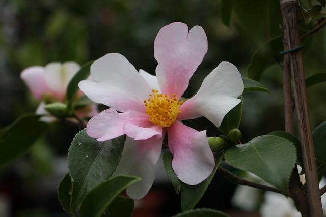 Kamelie / Camellia 'Yume'