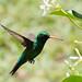 colibri-1