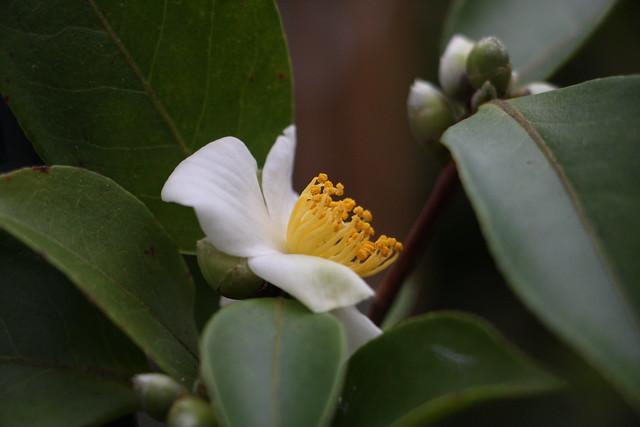 Kamelie / Camellia kissii