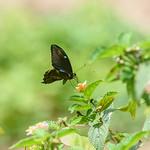 Teardrop Swallowtail (Papilio e. epiphorbas), male