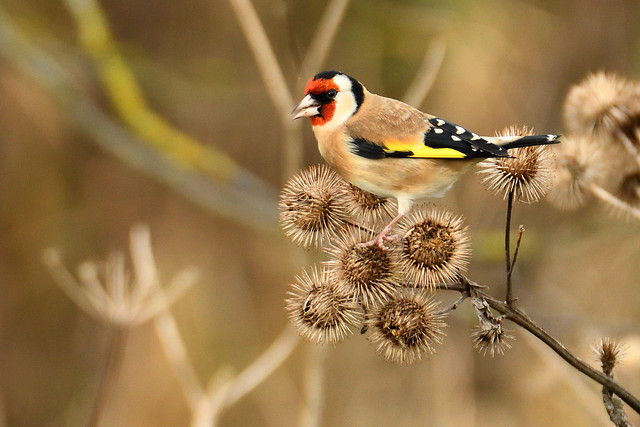 Goldfinch 02122001