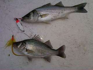 Photo of two large fish