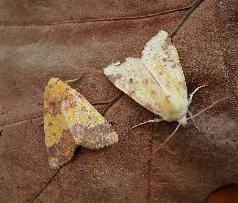 Sallow with Barred Sallow