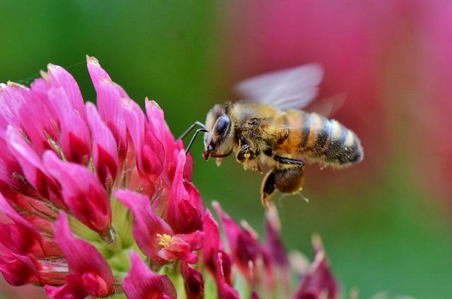 Abeille européenne - Apis mellifera - European bee