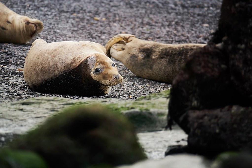 What are you looking at, human? #seal #greyseal #nature #wildlife #blog #natureblog #mammal #yorkshire #yorkshireseals #animal #ukcoastline #ukcoast #wildlifephotography #naturephotography #wildlifeprotection #wildlife_perfection #naturelovers #nature_per