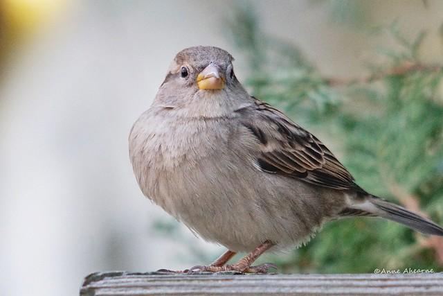 Female House Sparrow Close-up