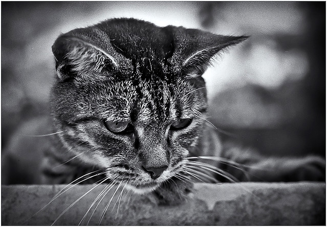 Gato Puertorriqueño (Puerto Rican Cat)