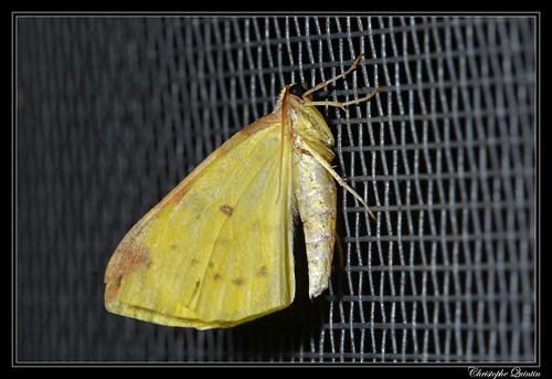 La Citronnelle rouillée (Opisthograptis luteolata)