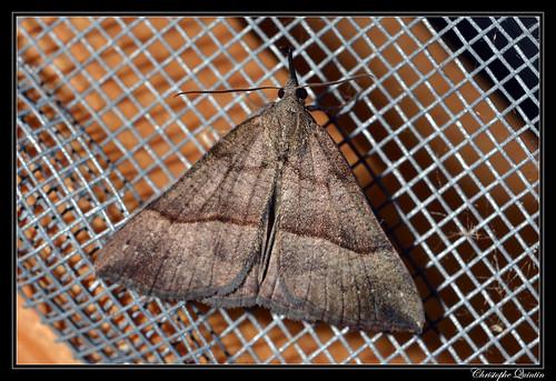 La Noctuelle à museau (Hypena proboscidalis)